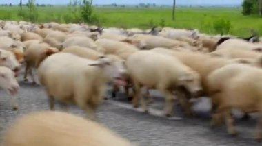 Driving flocks of sheep on alpine meadows, RSO- Alania, the Caucasus, Russia — Stock Video