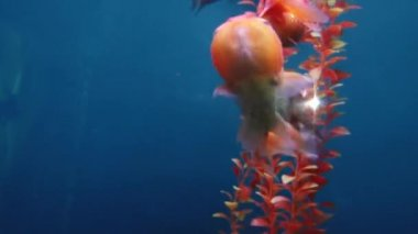 Underwater inhabitants of the aquarium — Stock Video