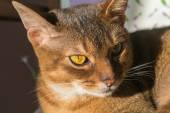 Abyssinian — Stock Photo