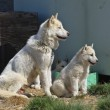 Постер, плакат: Greenland dog and puppies