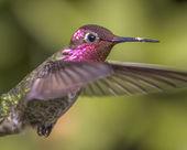 Hummingbird in Flight — Stock Photo