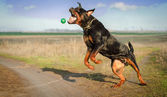 Rottweiler dog — Stock Photo