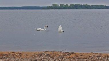 Goose bird riverbank river water rural stack waterfowl — Stock Video