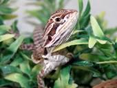 Baby Bearded Dragon — Stock Photo