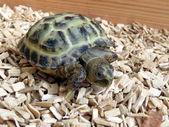 Tartaruga bebé — Fotografia Stock