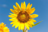 Landscape with sunflower — Stock Photo