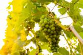 Vine with small green grapes — Stock Photo