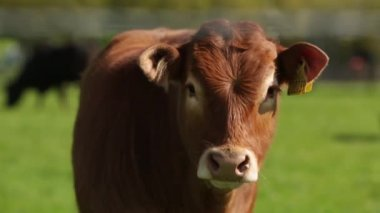 Front view of a Jersey cow in a field — Stockvideo
