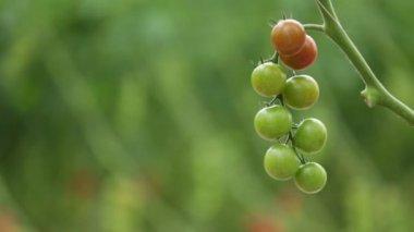 Slow focus pull of tomato plants — Video Stock