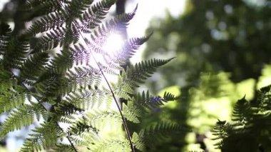 Low shot of sun shining - flaring through a Fern plant — Stock Video