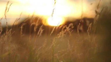 Evening sunset shining through long grass — Stock Video