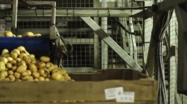 Potatoes coming off an automated conveyor belt into a large container — Stock Video