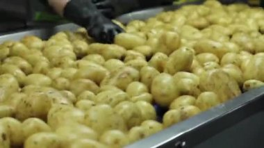 Potatoes being selected by factory workers on conveyor belt — Stock Video