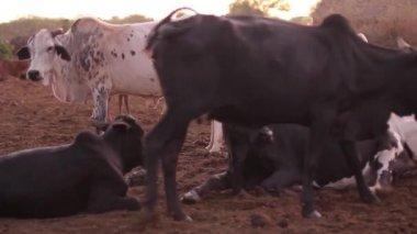 Herd of cows belonging to the Maasai Mara, Taveta, Kenya, March 2013 — Stock Video