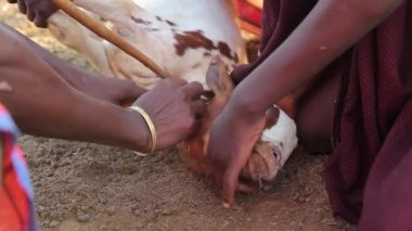Maasai men in Africa giving a goat an injection, Tanzania, March 2013 — Stock Video