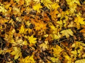 Nature background of orange and yellow maple leaves — Stock Photo