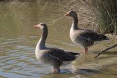 Couple of greylag geese (Anser anser): wild goose — Stock Photo