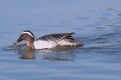 Garganey dabbling duck (Anas querquedula) swimming in the wetlands of the Isola della Cona Natural Reserve (Friuli, Italy) — Stock Photo