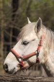 Detail of a Camargue horse from the Isola della Cona Natural Reserve (Friuli, Italy) — Stock Photo