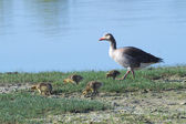 Greylag goose with some chicks born in the wetlands of the Isola della Cona Natural Reserve (Friuli, Italy) — Stock Photo