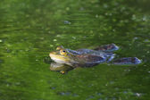 Edible or common water frog — Stock Photo