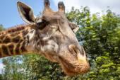 Giraffe. Sanya, Hainan, China — Stock Photo