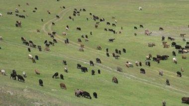 Sheep walk through the pastures — Stock Video