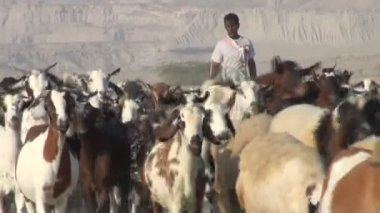 Shepherd walks his goats through desert — Wideo stockowe