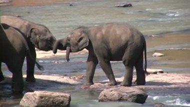 Elephants playing near river — ストックビデオ