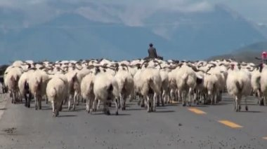 Herd of sheep on a Chinese road. — Stock Video