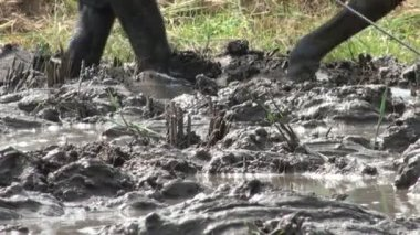 Cow and man working on the rice field — Stock Video