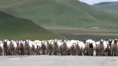 Koyun asfalt bir yolda yürümek — Stok video