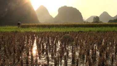 People work in the ricefields at sunset. — Stock Video