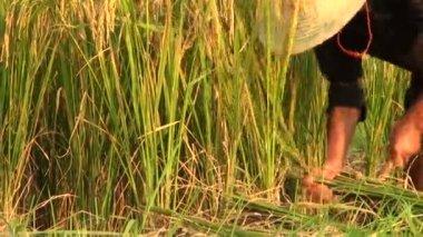 Tagli un uomo cinese di riso — Video Stock