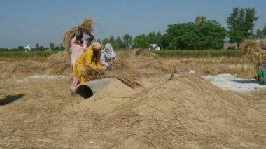 Women hit rice crops — Stock Video