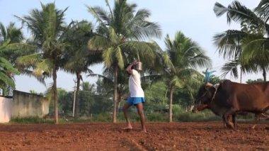 Rolnicy umożliwia orać ziemię krowy — Wideo stockowe
