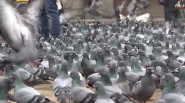 A flock of pigeons is fed on Durbar Square — Stock Video