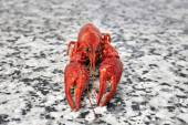 One big river crayfish on grey worktop in rows — Stock Photo