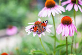 Peacock butterfly on the flower — Stock Photo