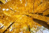 Autumn maple leaves fall — ストック写真
