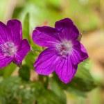 Geranium sylvaticum - Woodland geranium — Stock Photo #69885845