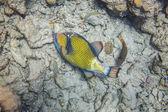 Big fish eating corals — Foto de Stock
