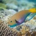 Big yellow scarus fish — Stock Photo #72880913