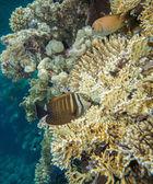 Sailfin tang - zebrasoma desjardinii — Stock Photo