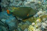Orange-striped triggerfish — Stock Photo