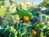 A rainbow lorikeet on a branch — Stock Photo