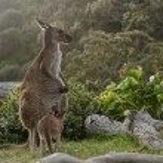 Two grey kangaroos in Australian wildlife bush — Stock Photo #69454369