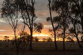 Sunset with eucalyptus trees in remote non-urban Australia — Stock Photo