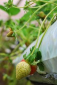 The beauty of strawberry. blureed background and some noise applied — Stock Photo