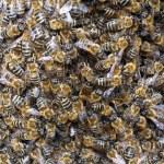 Big swarm of bees — Stock Photo #75671401